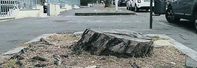 Benevento, pini sequestrati: diffida e polemiche sulla manutenzione