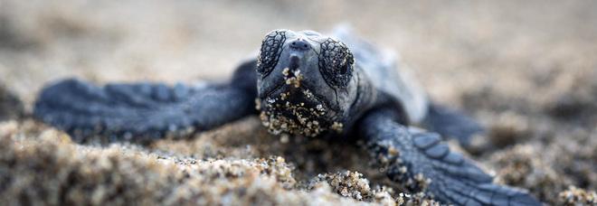 Tartaruga caretta caretta nel Cilento come una nursery: 24 nidi rinvenuti
