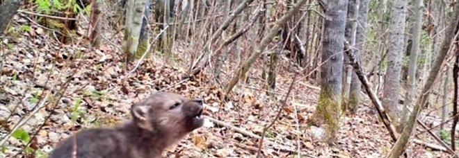 L'ululato del cucciolo di lupo. Le straordinarie immagini. (Video ripreso e pubbl su You Tube da Voyageurs Wolf Project)