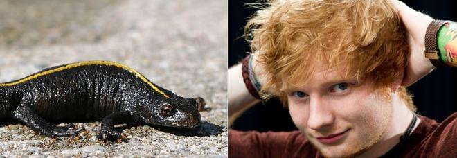 Ed Sheeran e la «maledizione del tritone crestato», ecco cosa è successo al cantante