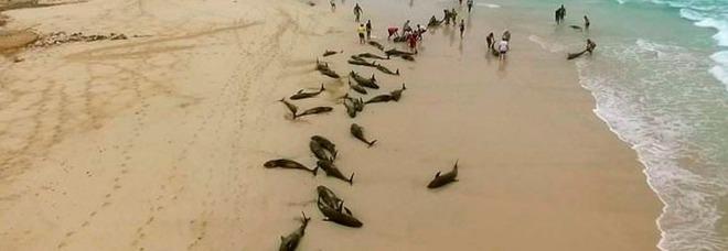 Ghana, centinaia di delfini trovati morti sulle spiagge: gli abitanti ne approfittano. Le drammatiche immagini in un video