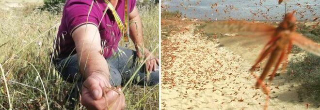 Invasione di cavallette in Sardegna, milioni gli esemplari: l'allarme Coldiretti
