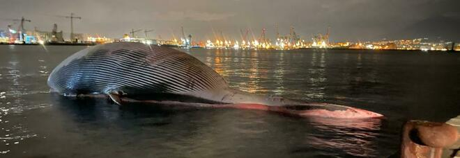 La balena di Sorrento trasferita nel porto di Napoli: è arrivata al molo San Vincenzo, ora l'autopsia