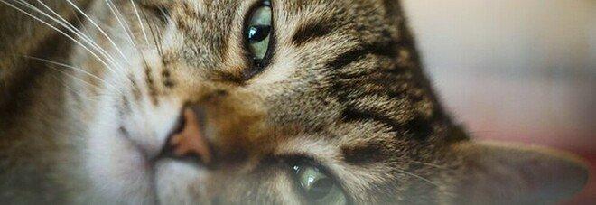 Coronavirus, i rischi per i gatti domestici: la storia di un felino morto subito dopo il padrone