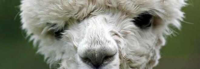 Covid, negli alpaca nanoanticorpi che lo neutralizzano: via ai test sugli animali