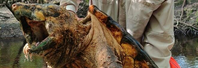 FOTO: Catturata un'enorme tartaruga di oltre 45 chili in un posto insolito della Florida
