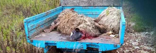 Cilento, gregge di pecore sbranato dai lupi