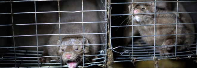 Covid, il Governo blocca attività negli allevamenti. Lav: «Animali contagiati anche in Italia» I casi in Danimarca e Francia Video