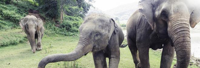 Corteo funebre di alcuni elefanti diventa virale in rete - Video