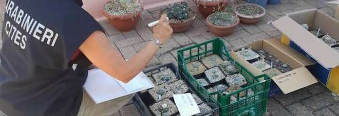 Marche, 253 cactus allucinogeni in una serra: arrestato un 42enne