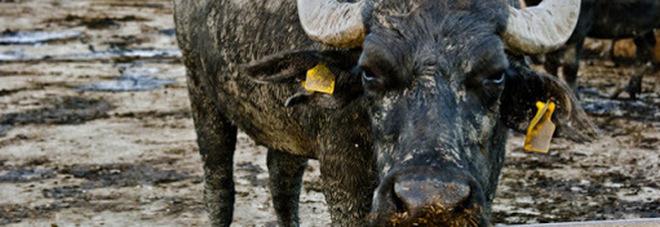 Brucellosi negli allevamenti di Caserta, il dilemma di abbattimenti e vaccini