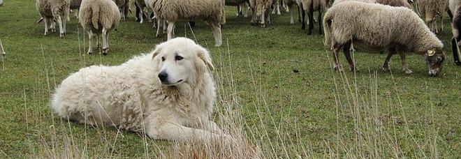 Incedi in Sardegna, due pastori maremmani salvano il gregge dalle fiamme: la storia fa il giro del web