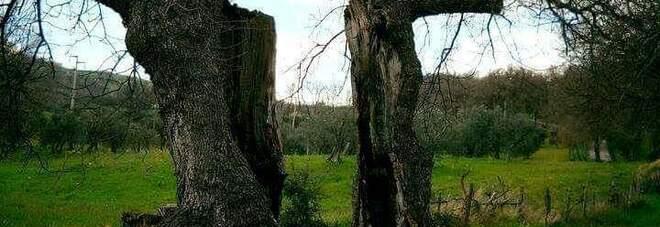 Il monumento della natura: la quercia divisa a metà dal terremoto del 1980