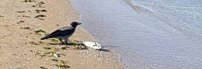 Pescara, strage di cefali lungo tutta la costa. «Uccisi da tipi di pesca vietati»