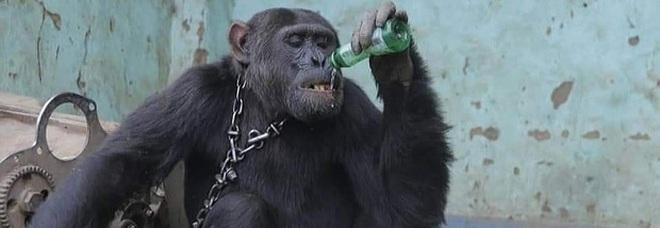 Tarzan ancora in catene prima della liberazione (immagini pubbl su fb da ong Conserv Congo)