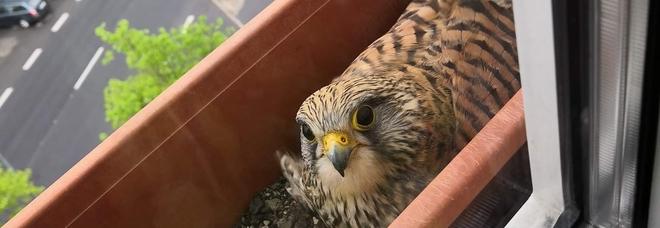 Il falco nidifica nel vaso di casa (immagini e video pubblicati su Facebook da Judita Zajtkova)