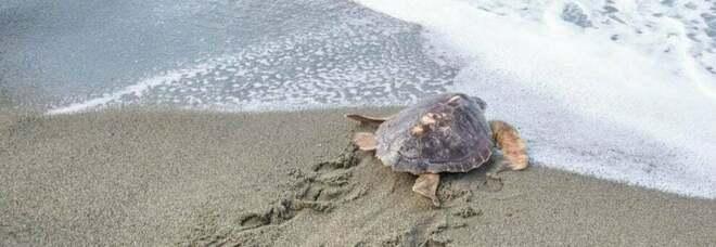 Ischia, rete di monitoraggio in spiaggia dopo la nascita delle 25 tartarughe