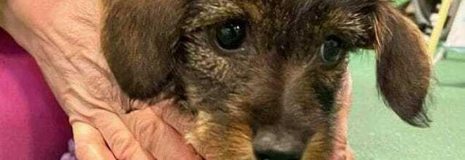 Brianza, gesto eroico di due ragazzi: salvano una cagnolina bassotta destinata a morire. Come adottarla.