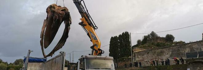 La balena sotterrata a Sorrento: tra un anno lo scheletro sarà riesumato ed esposto in pubblico
