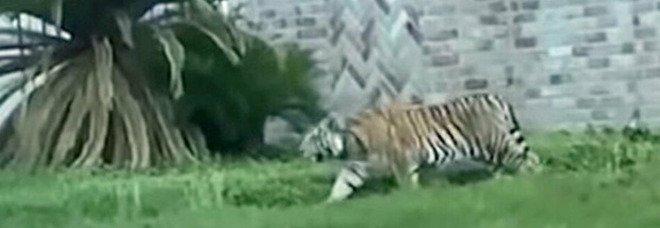 Texas, sospetto killer scappa con la sua tigre: è caccia all'uomo