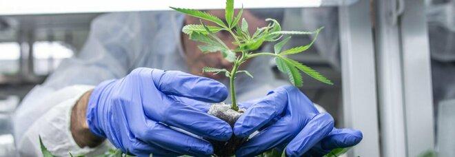 Cannabis, sì coltivazione piantine a casa (massimo 4) e pene più severe per spaccio: nuova legge alla Camera
