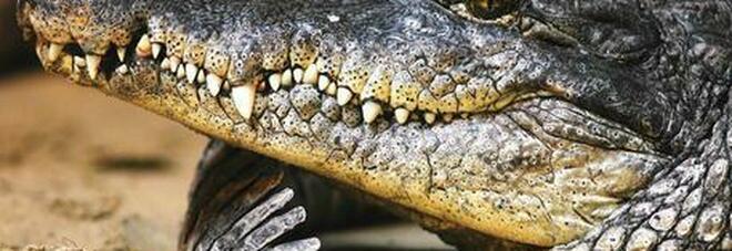 Giornalista allontana un coccodrillo di cinque metri con un bastone