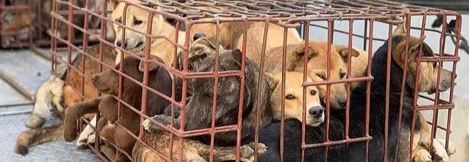 Una delle piccole gabbie piena di cani (immag pubbl dal quotidiano vietnamita Phapluat)