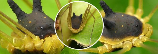 La strana creatura che sembra un ragno, ma ha la testa di un coniglio: ecco di cosa si tratta (Flickr - Andreas Kay)