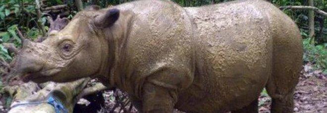 Rinoceronte di Sumatra (immagine pubblicata da Ansa)