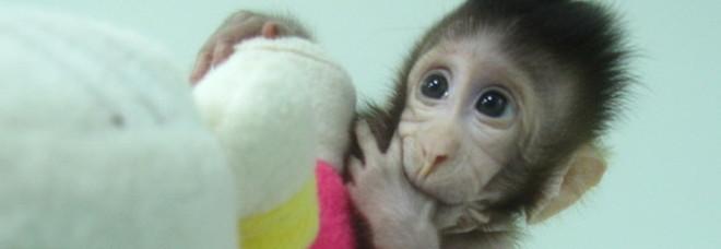 Scimmie modificate con geni umani in Cina, dubbi etici e genetici: «Sono più intelligenti»