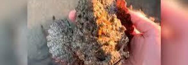 Si riprende mentre afferra un pesce pietra, il più velenoso del pianeta capace di uccidere - VIDEO