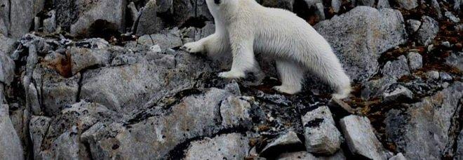 Orsi polari ridotti alla fame a caccia di uova invece delle foche. «Colpa dei cambiamenti climatici»