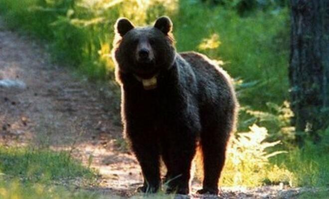 Un orso minaccia di attaccare una turista che si è avvicinata troppo al suo branco a Yellowstone - VIDEO
