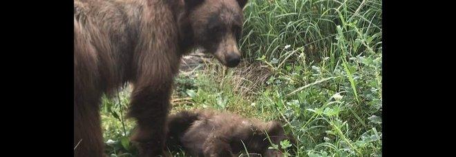 Mamma orsa veglia il suo piccolo investito e ucciso (immag pubbl da Yosemite National Park su Fb)