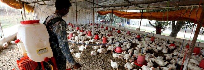 India, dilaga l'influenza aviaria: Nuova Delhi chiude gli zoo e i mercati