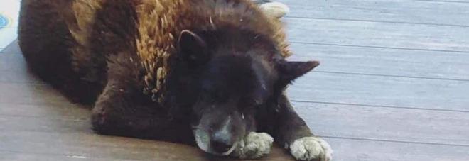 Un'aiuola per Nerone, il cane simbolo di Bacoli: sul web migliaia di messaggi d'affetto