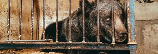 Jambolina, orsa più sola al mondo, morta dopo anestesia: fu liberata dopo 10 anni in gabbia