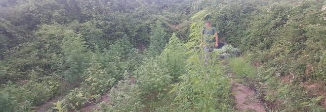 Piantagione di marijuana in collina, il proprietario del terreno non ne sa nulla