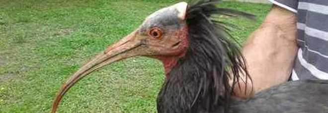 Ibis Eremita, esemplare ricompare a Cuneo: era sparito da 500 anni
