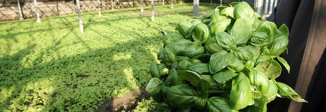 Il basilico più ricco di aroma? Lo coltiva l'intelligenza artificiale: è cyber-agricoltura