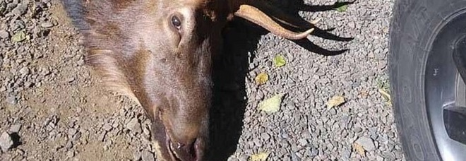 La vendetta del cervo: incorna e uccide il cacciatore che lo aveva ferito il giorno prima