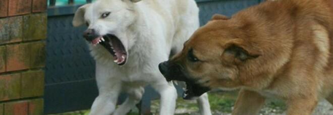 Donna azzannata da branco i cani randagi: i vicini sparano petardi per allontanarli