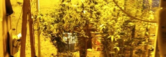 Controlli antidroga a Napoli, scoperta serra di marijuana nel centro storico