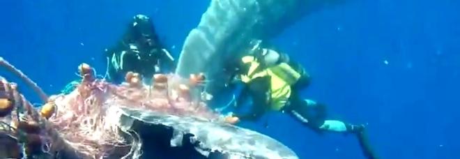 Il momento del salvataggio del capoglio intrappolato nella rete illegale (immagini e video da Guardia Costiera)