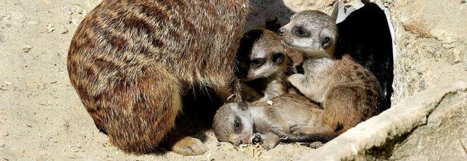 Bioparco lieti eventi: arrivano 3 cuccioli di suricato, una cammellina e due baby pinguini del Capo. Specie a rischio da tutelare