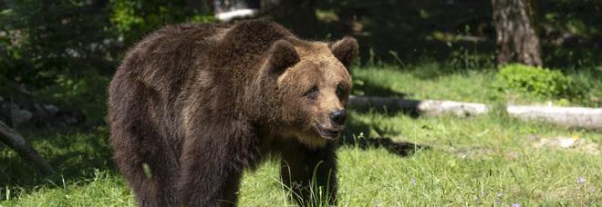 Abruzzo, un corso per sparare (gommini) agli orsi problematici