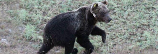 L'orso Mario entrò in casa sfondando una finestra: chiesti 460 mila euro al Parco