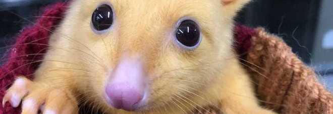 Pikachu esiste davvero e vive in Australia