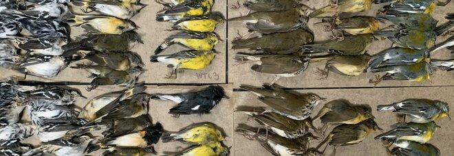 Alcuni uccellini migratori morti schiantati a New York. (Immag e video diffusi su Twitter da Melissa Breyer)