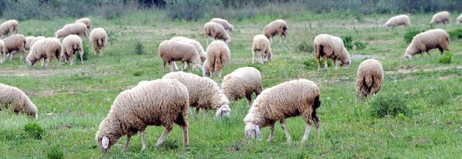 Roma, pecore per tosare l'erba dei parchi: l'idea della giunta Raggi